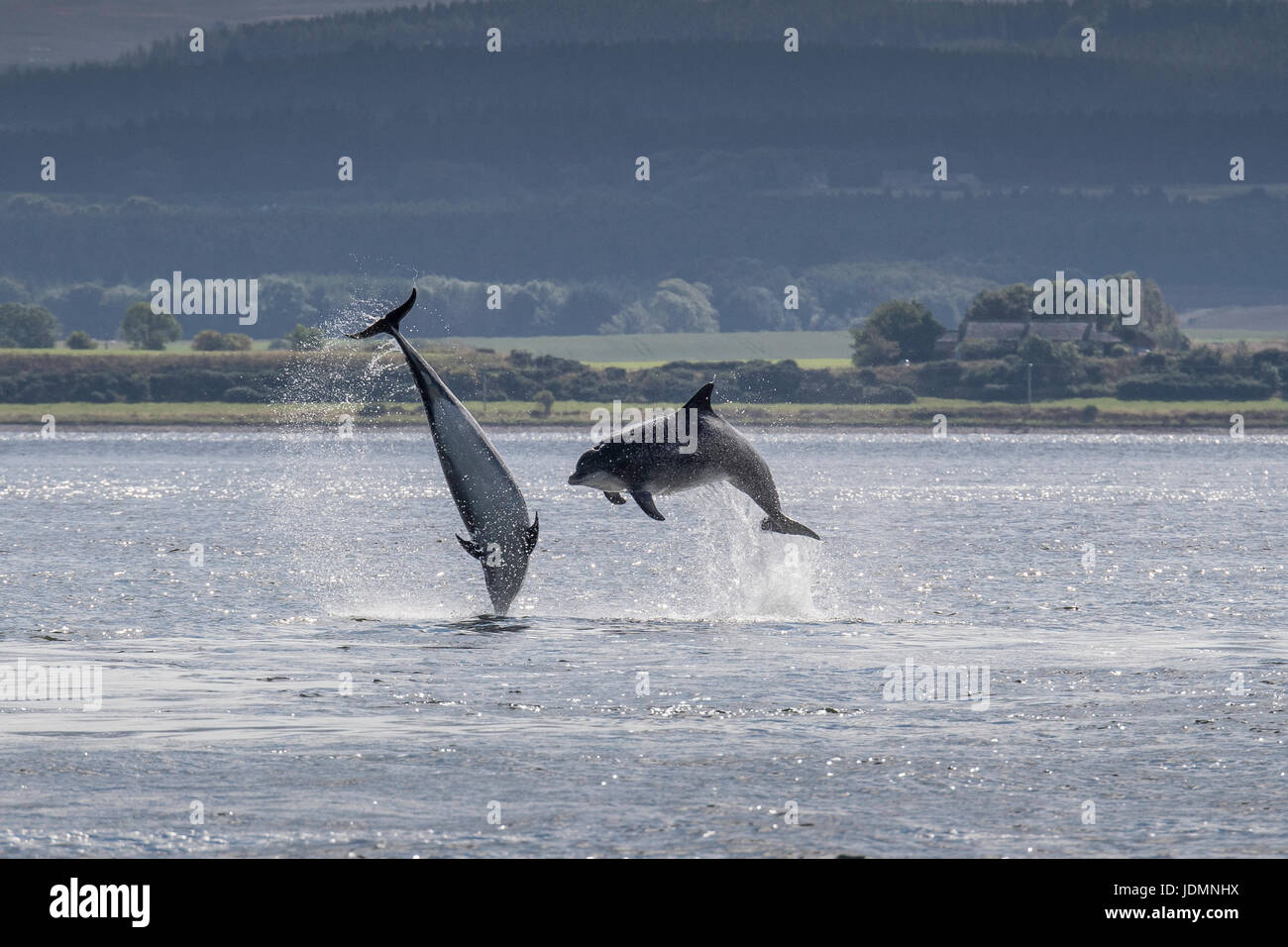 Two Common Bottlenose Dolphin, Tursiops truncatus, breaching in unison at Chanonry Point, Black Isle, Moray Firth, - Stock Image