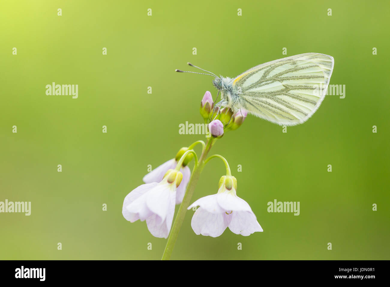 Closeup of a green-veined white (Pieris napi) butterfly resting and feeding nectar from cuckooflower (Cardamine - Stock Image