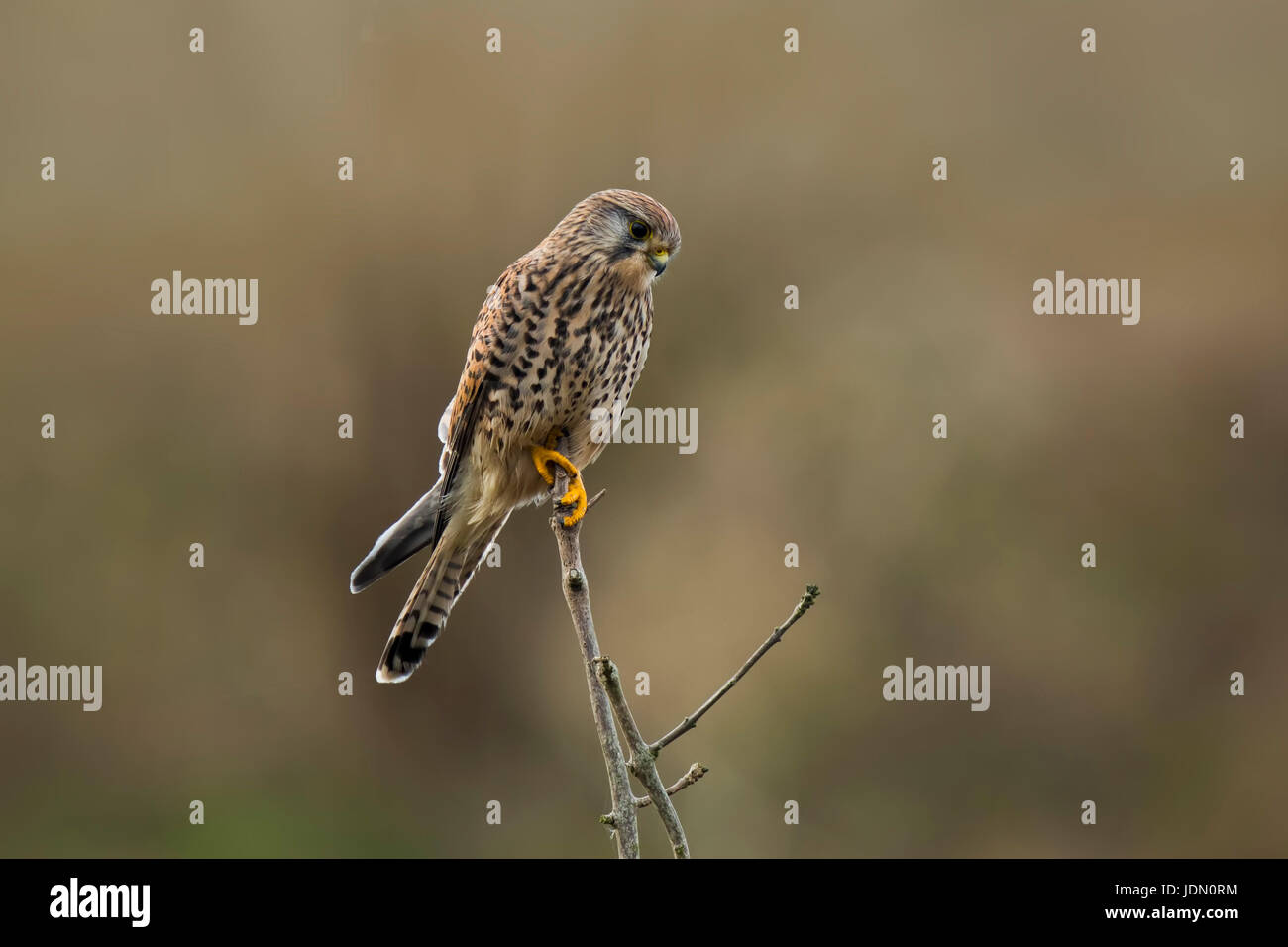 Common Kestrel (falco tinnunculus) perched on a tree top. Watching, observating, searching and hunting. - Stock Image