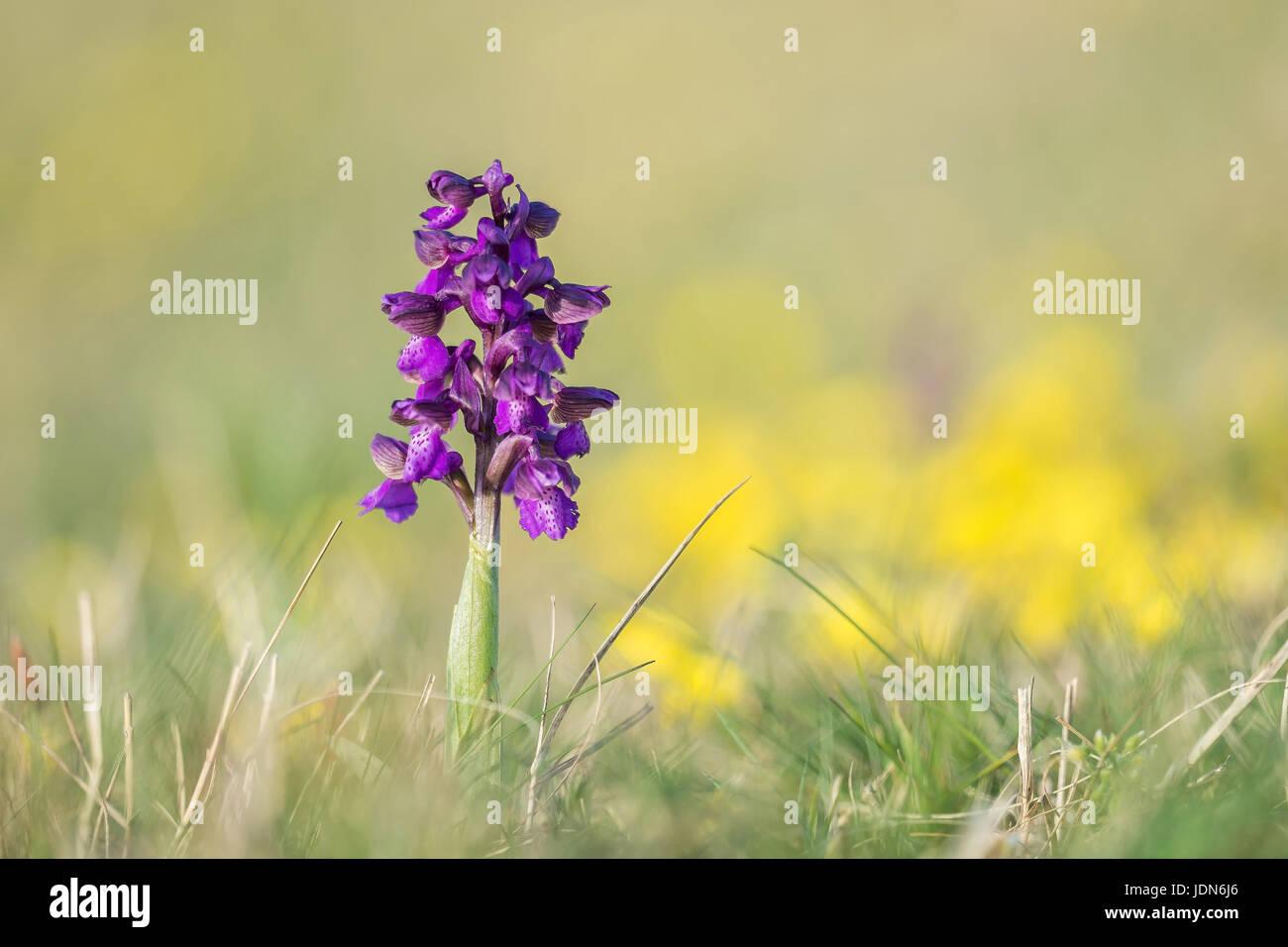 Knabenraut - kleines (Orchis morio) - Stock Image