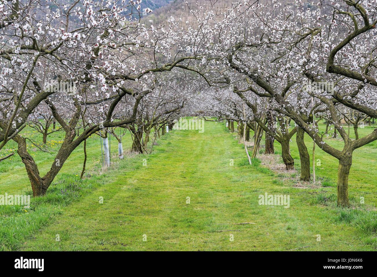 Marillenbaum (Prunus armeniaca) - Stock Image
