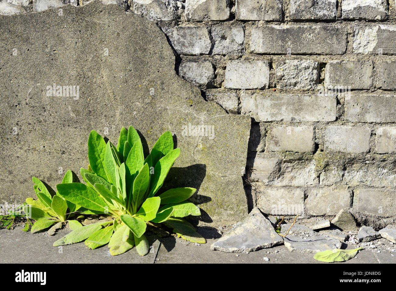 Plant grows by a dilapidated wall, Pflanze waechst an einer verfallenen Mauer - Stock Image