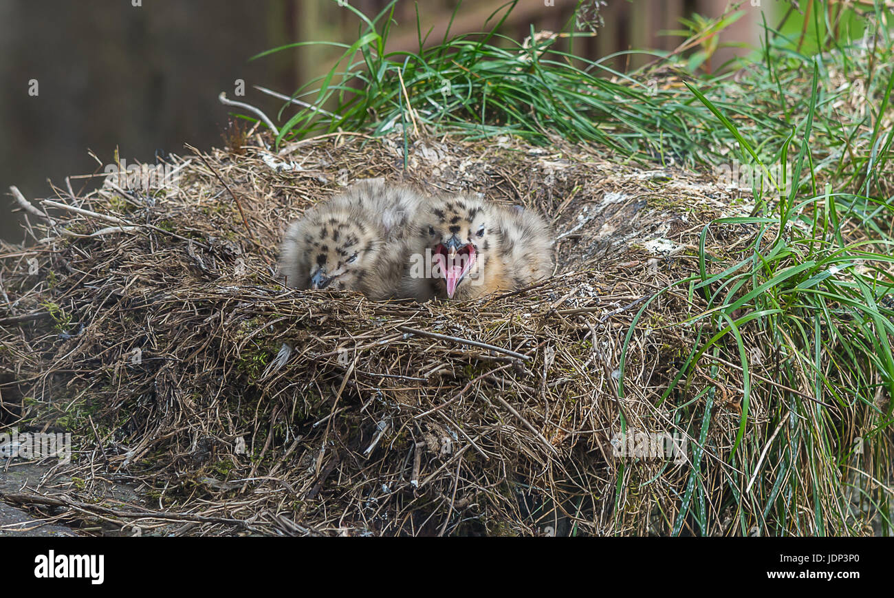 Two seagull chicks perched on a wall within their nest one with its moith opened - Stock Image