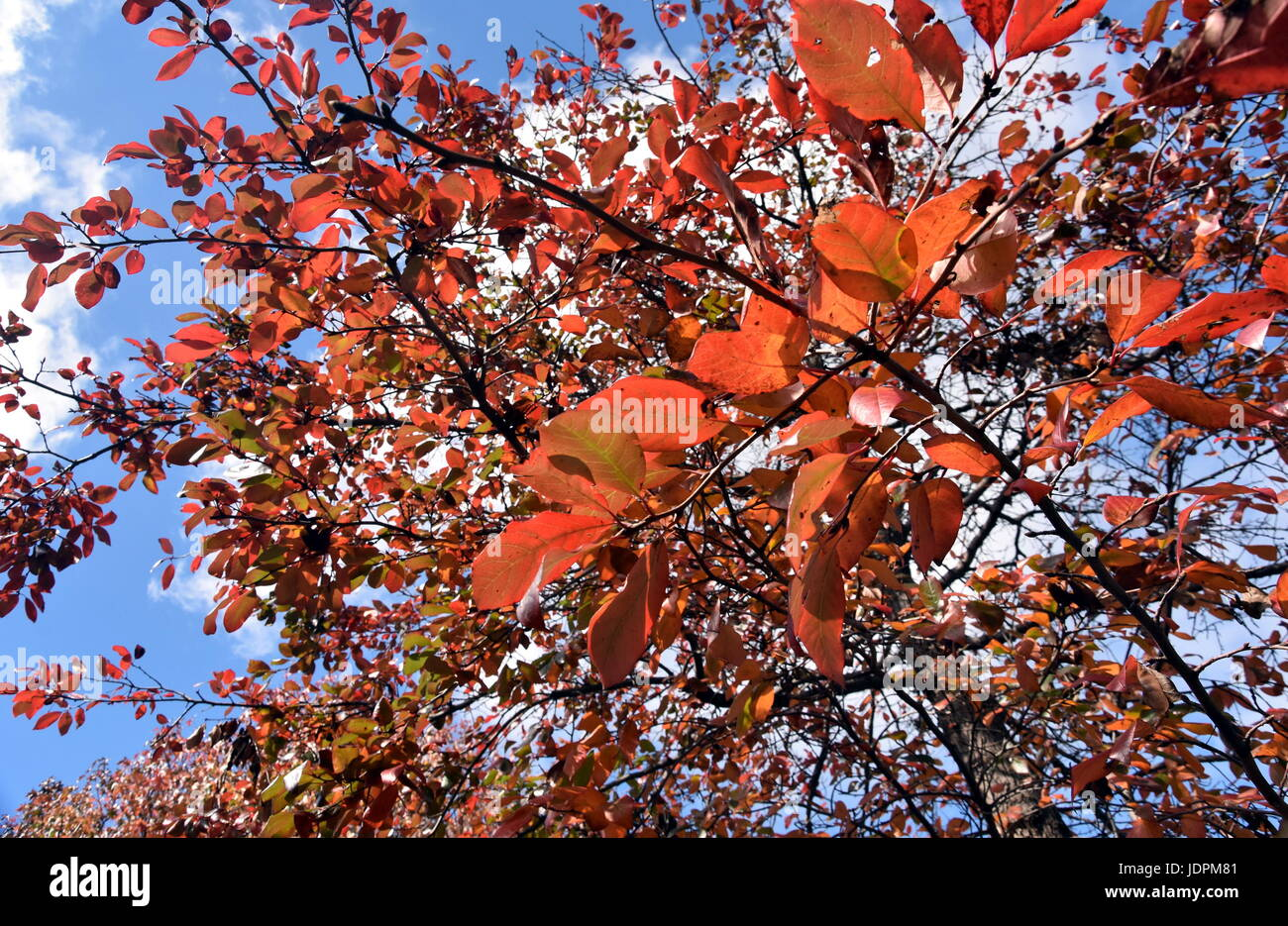 Autumn orange tree tops against blue sky in vintage tones. Natural view of autumn trees. Autumn tree against sky - Stock Image