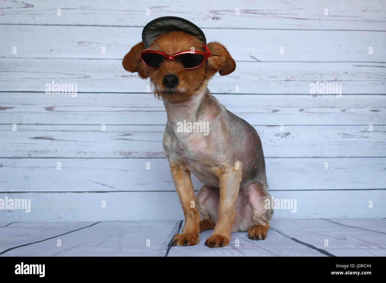 Small dog in sitting position dressed with a cap and sunglasses - Stock Image