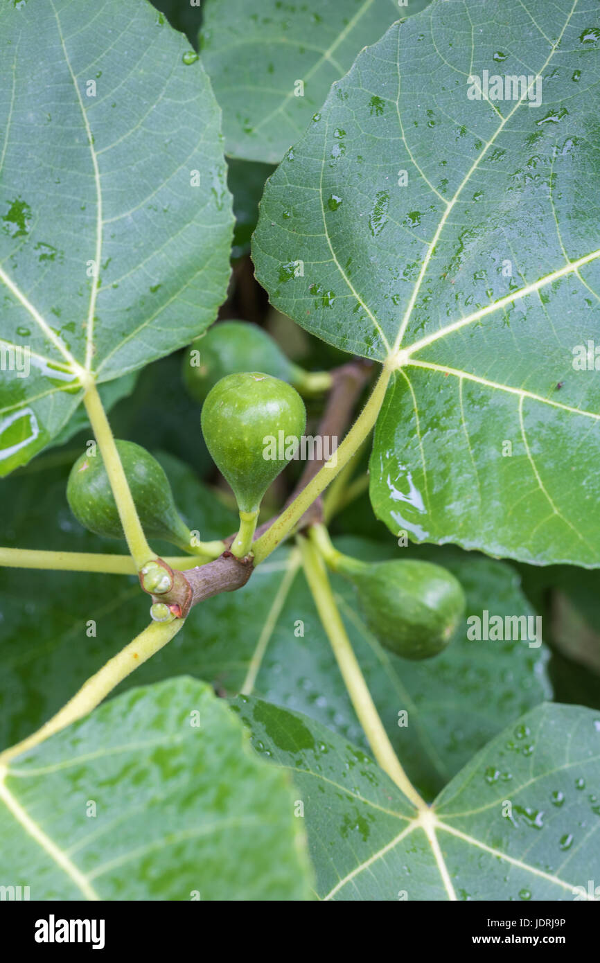 Vertical closeup photo of a green fig ripening on a tree with several other figs and the green leaves in soft focus - Stock Image
