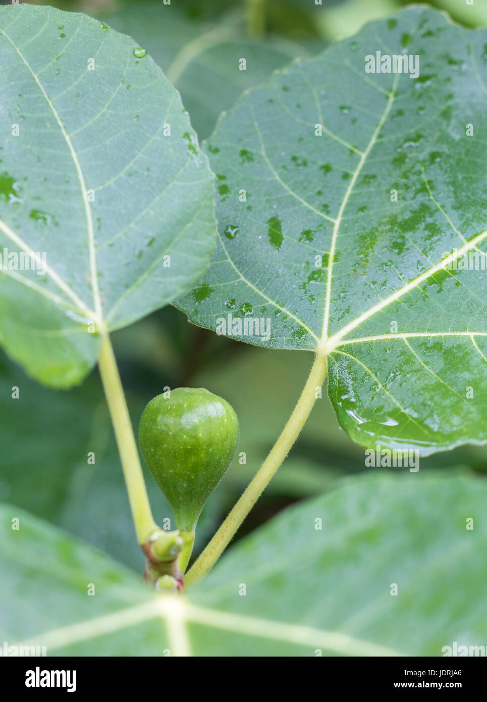 Vertical closeup photo of a green fig ripening on a tree with the green leaves in soft focus in the background with - Stock Image