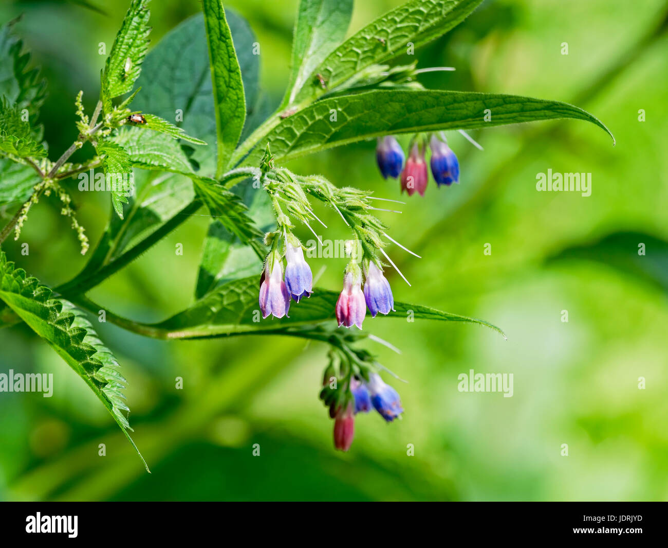 Close up of pink and blue Spanish Bluebell wildflowes growing on a plant. - Stock Image