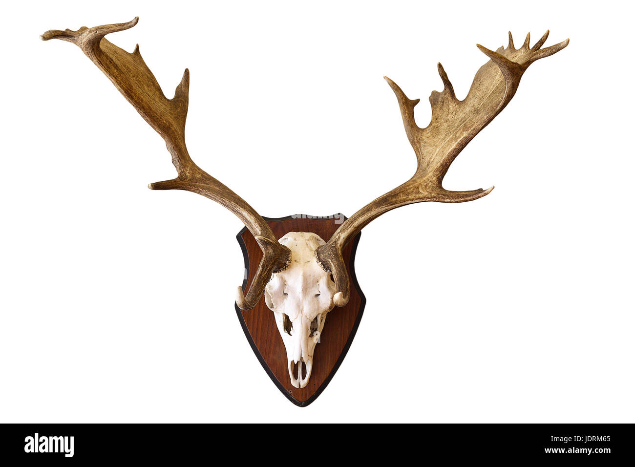 fallow deer stag isolated hunting trophy, large male Dama on white ...