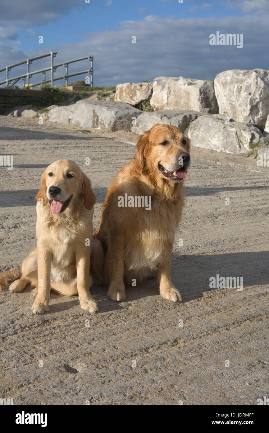 Father and 6 month old son golden retrievers on slipway at Newton beach Porthcawl - Stock Image