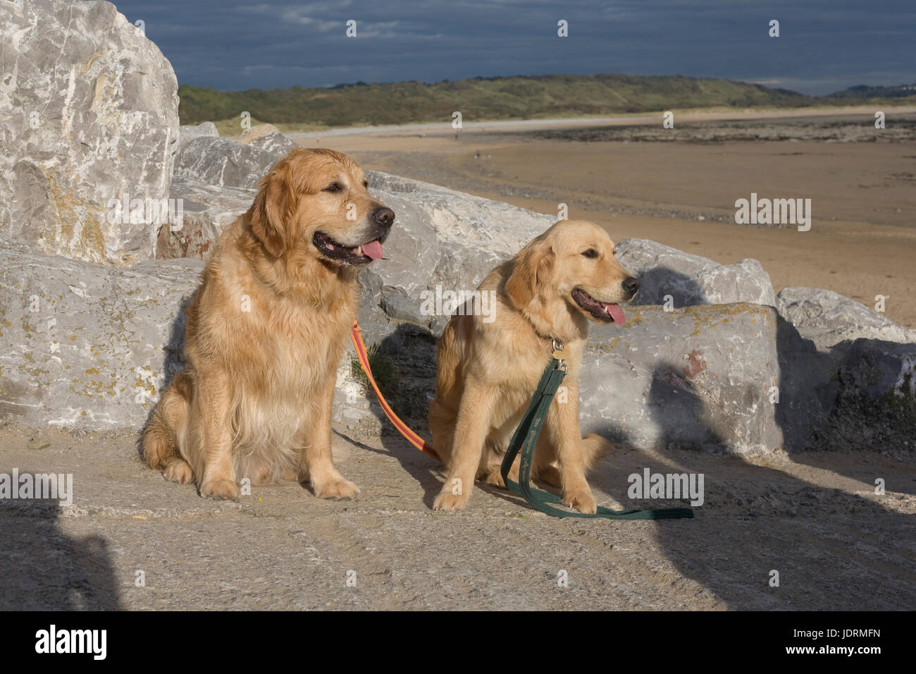 Father and son golden retrievers sit on slipway at Newton beach Porthcawl - Stock Image