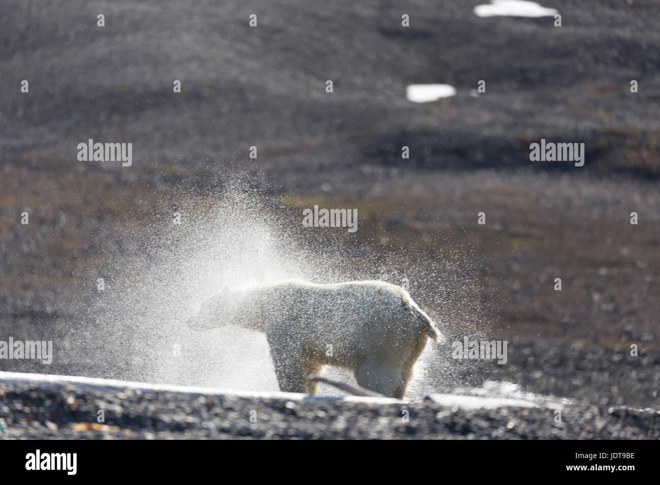 An adult polar bear shakes itself dry after walking ashore onto a shingle beach in Mushamna, Spitzbergen - Stock Image