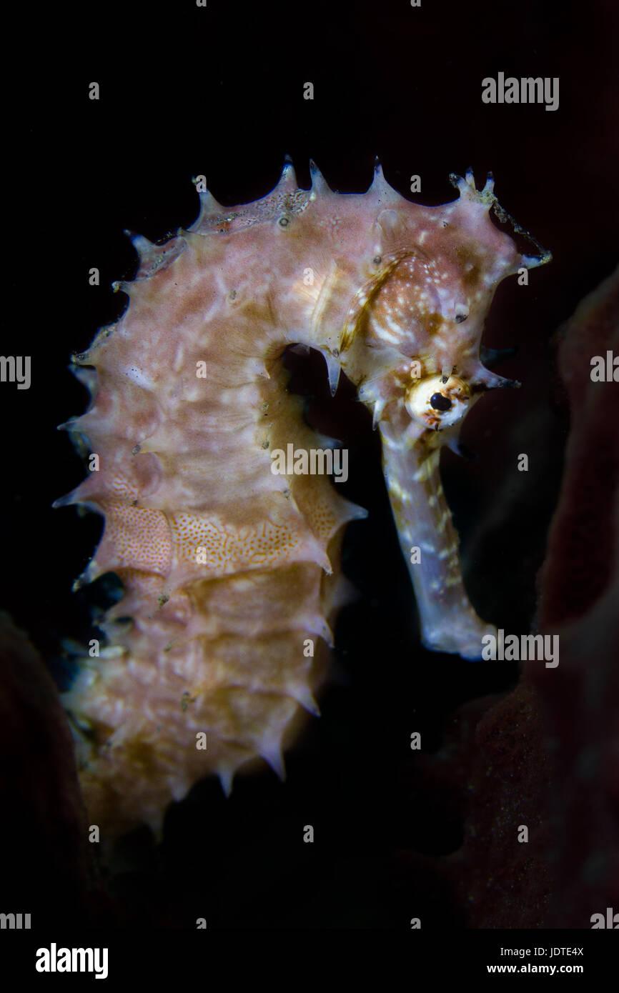 Seahorse portrait - Hippocampus portrait with black background - Stock Image