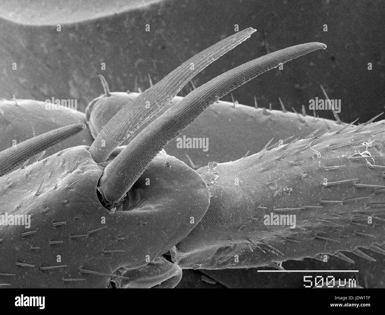 Magnified view of cockroach leg spurs - Stock Image