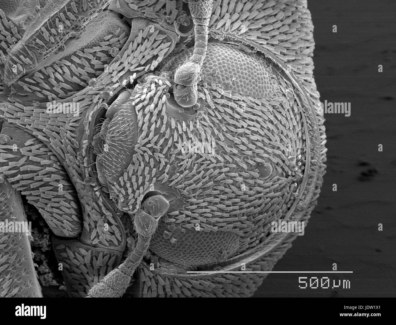 Magnified view of scaly beetle head - Stock Image