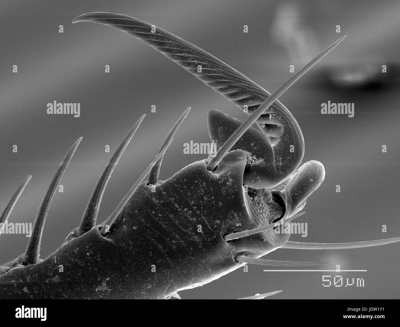 Magnified view of flea tarsus - Stock Image