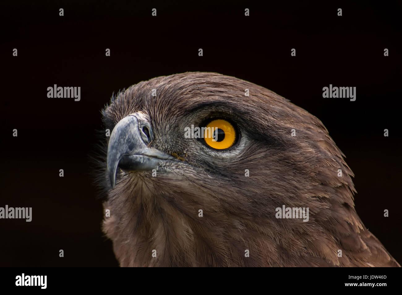 Brown Snake Eagle, Pietermaritzburg, South Africa - Stock Image