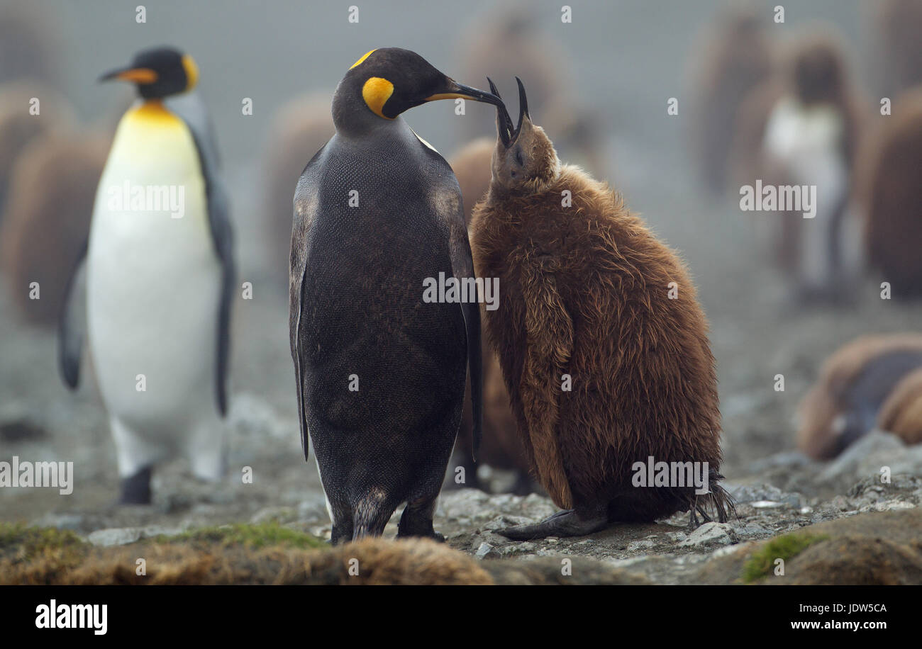 King Penguin with chick, Macquarie Island, Southern Ocean - Stock Image