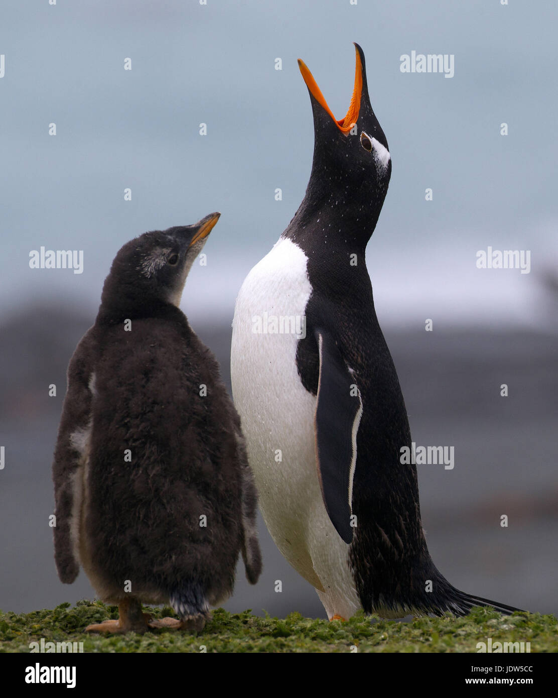 Gentoo penguin and chick, Macquarie Island, Southern Ocean - Stock Image