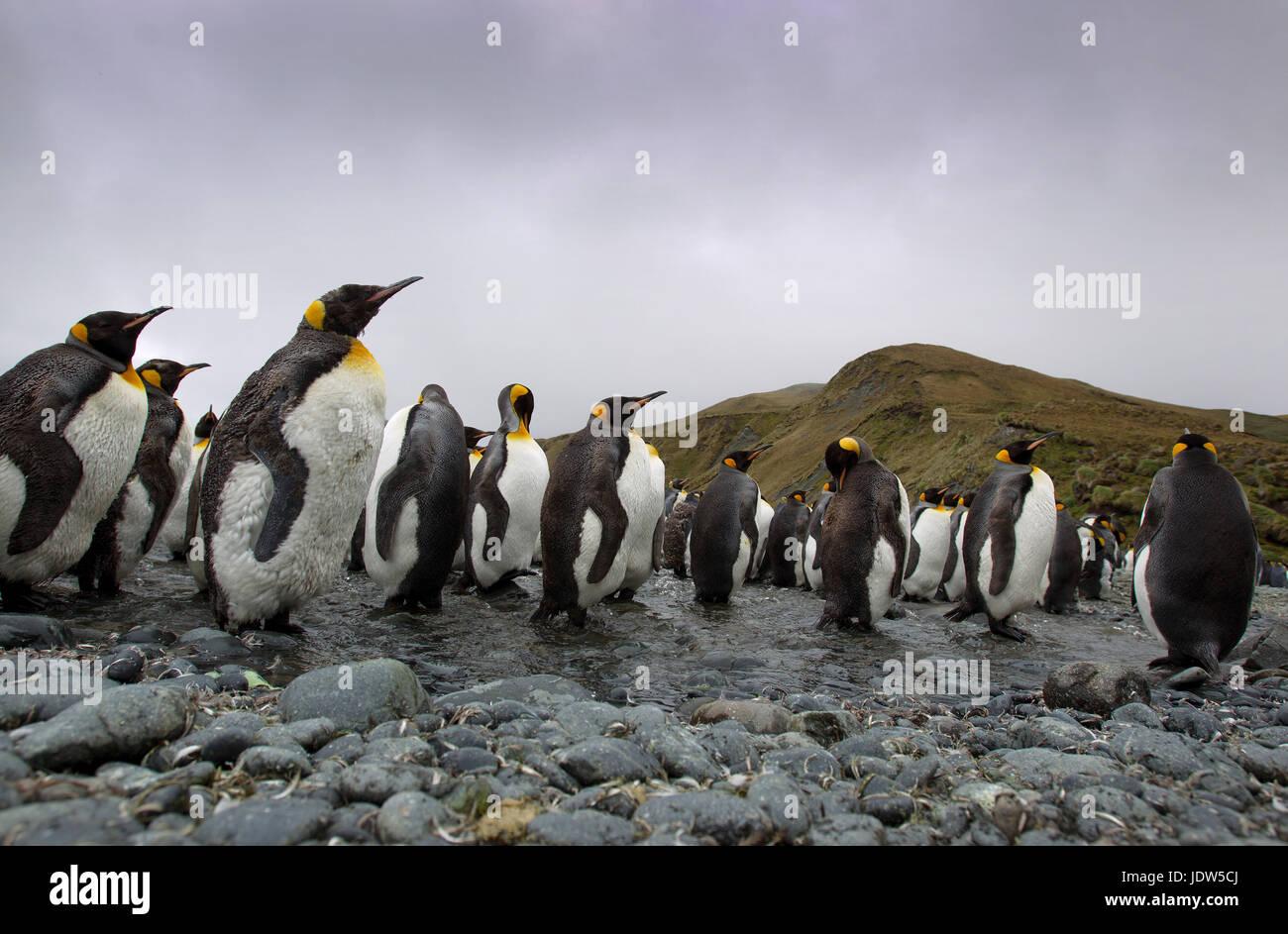 King Penguins, Macquarie Island, Southern Ocean - Stock Image