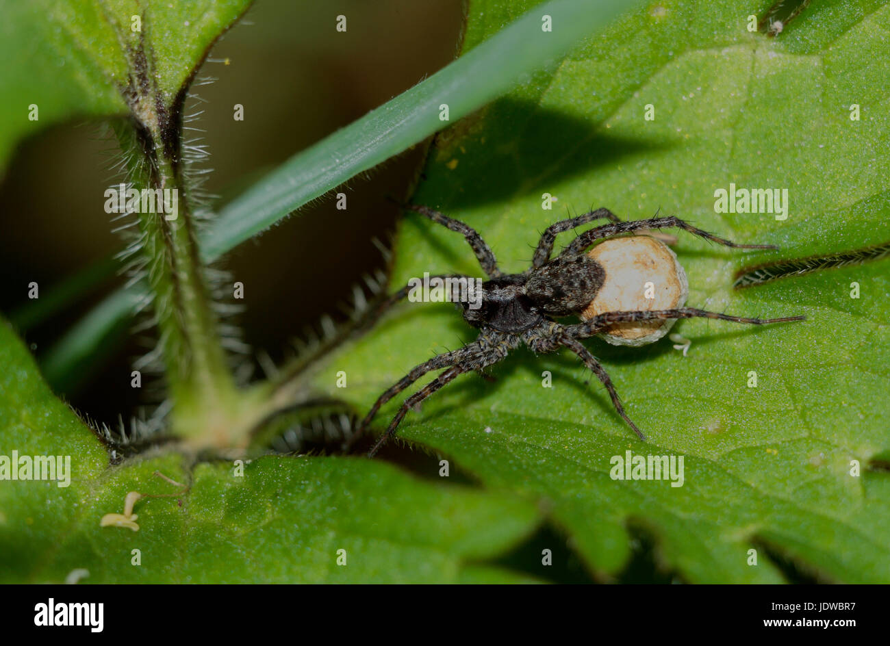 Female Wolf Spider - Stock Image