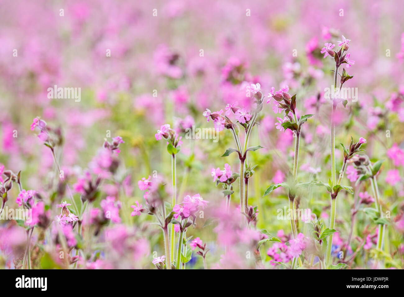 Campion meadow on Skomer island in Summer. Full frame pink flowers. Pembrokeshire, May Stock Photo