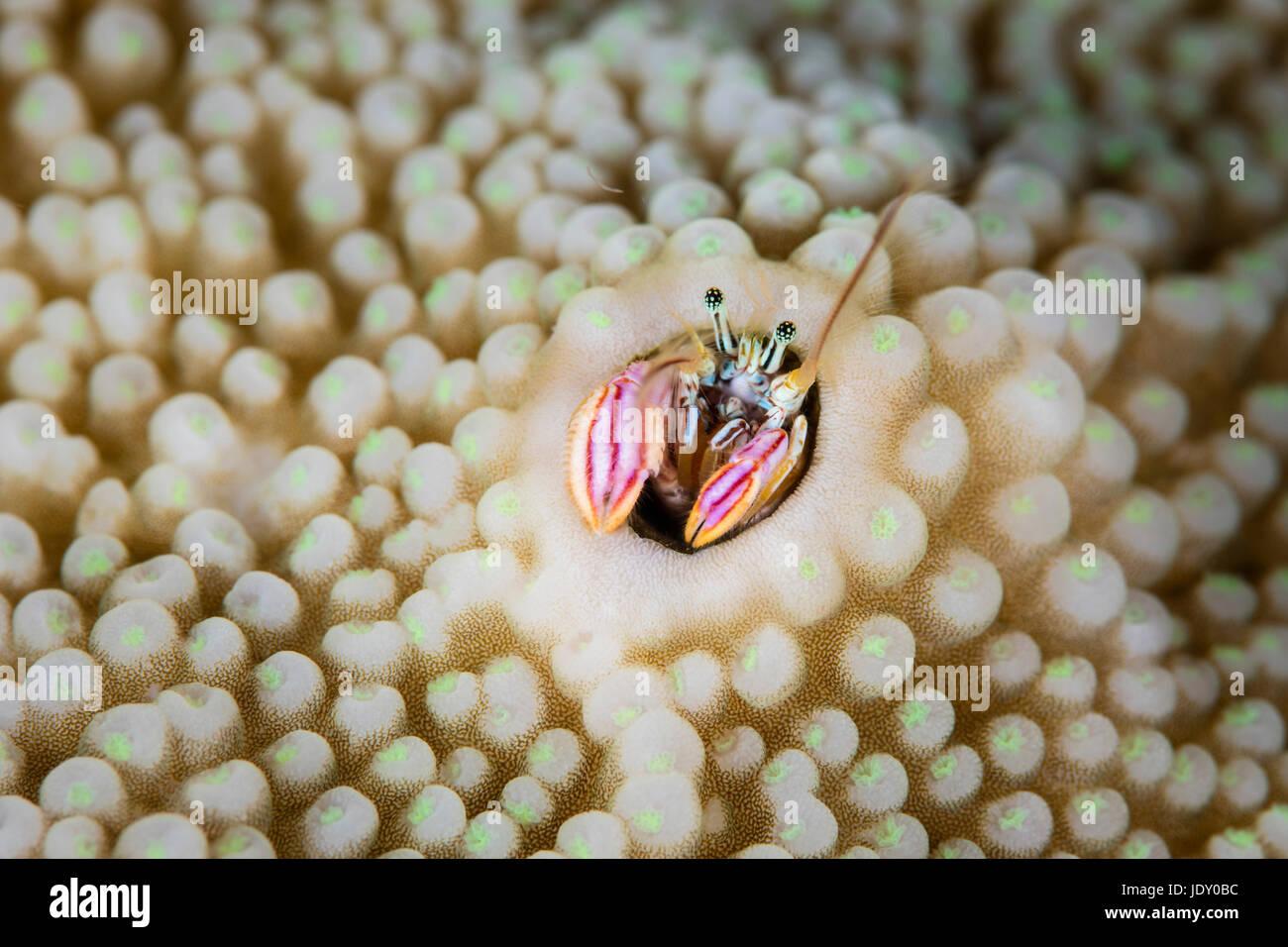 Coral Hermit Crab, Paguritta harmsi, Melanesia, Pacific Ocean, Solomon Islands - Stock Image