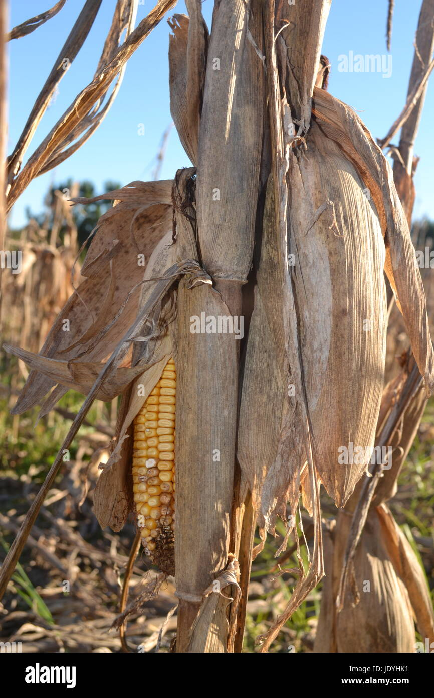 Ears of Corn - Stock Image