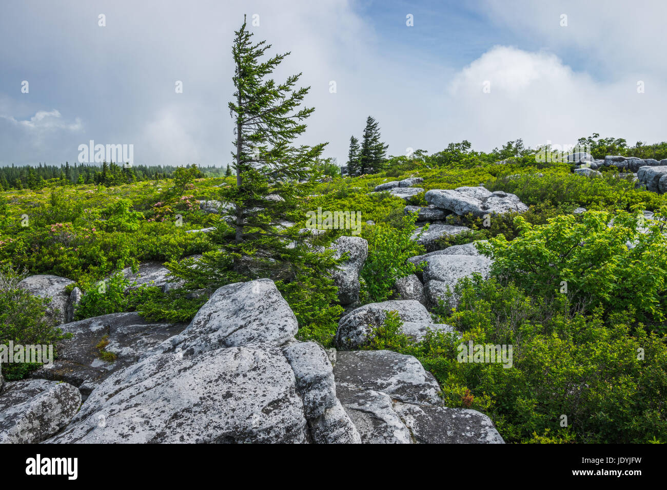 Flagged pine mark the distinctive rocky outcroppings of Bear Rocks in the Dolly Sods Wilderness Area of West Virginia, Stock Photo