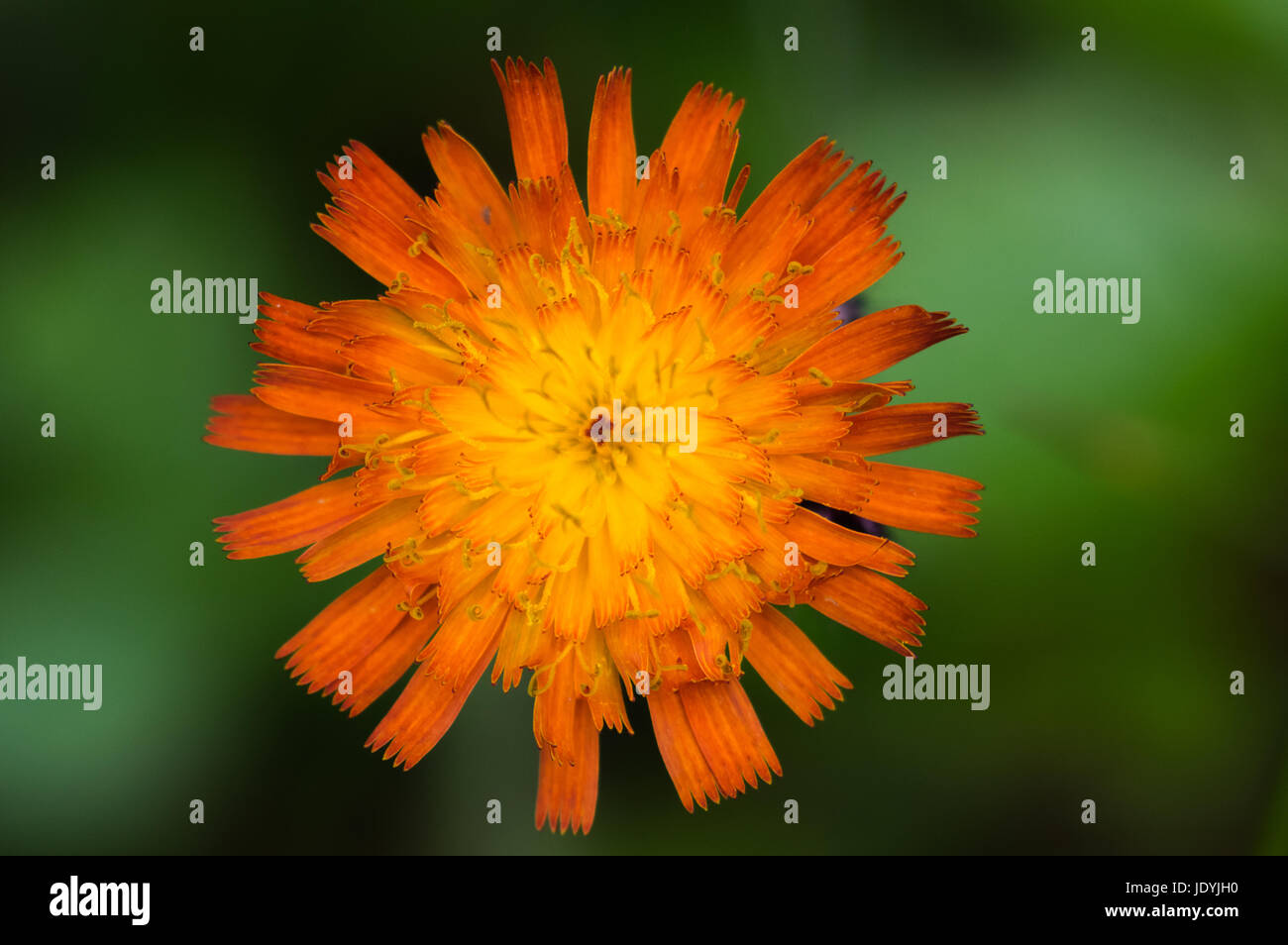 Close up shot of hawkweed or hieracium, an invasive orange wild sunflower shot in the Dolly Sods Wilderness Area - Stock Image
