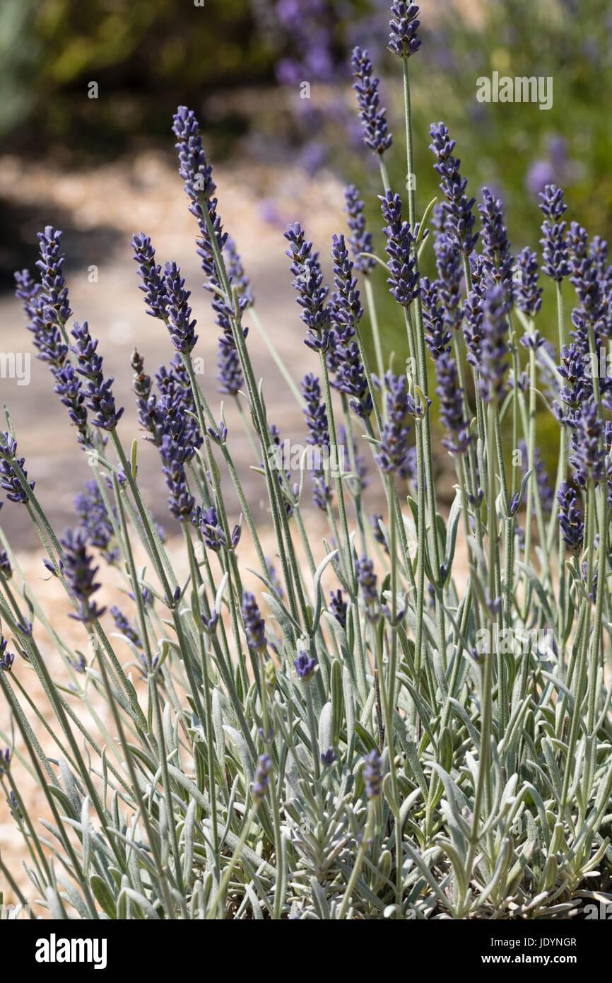 June flowers and foliage of the shrubby, silvery foliaged, hybrid lavender, Lavandula x chaytoriae 'Silver Mist' - Stock Image