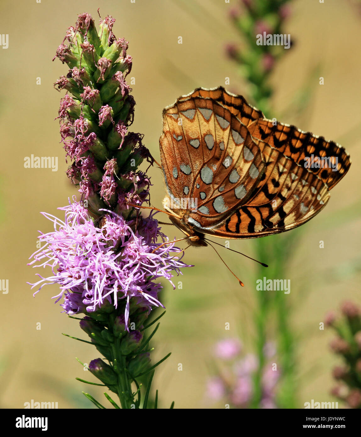 A Great Spangled Fritillary Butterfly (Speyeria cybele) pollinating blazing star (Liatris spicata) in a New England Stock Photo