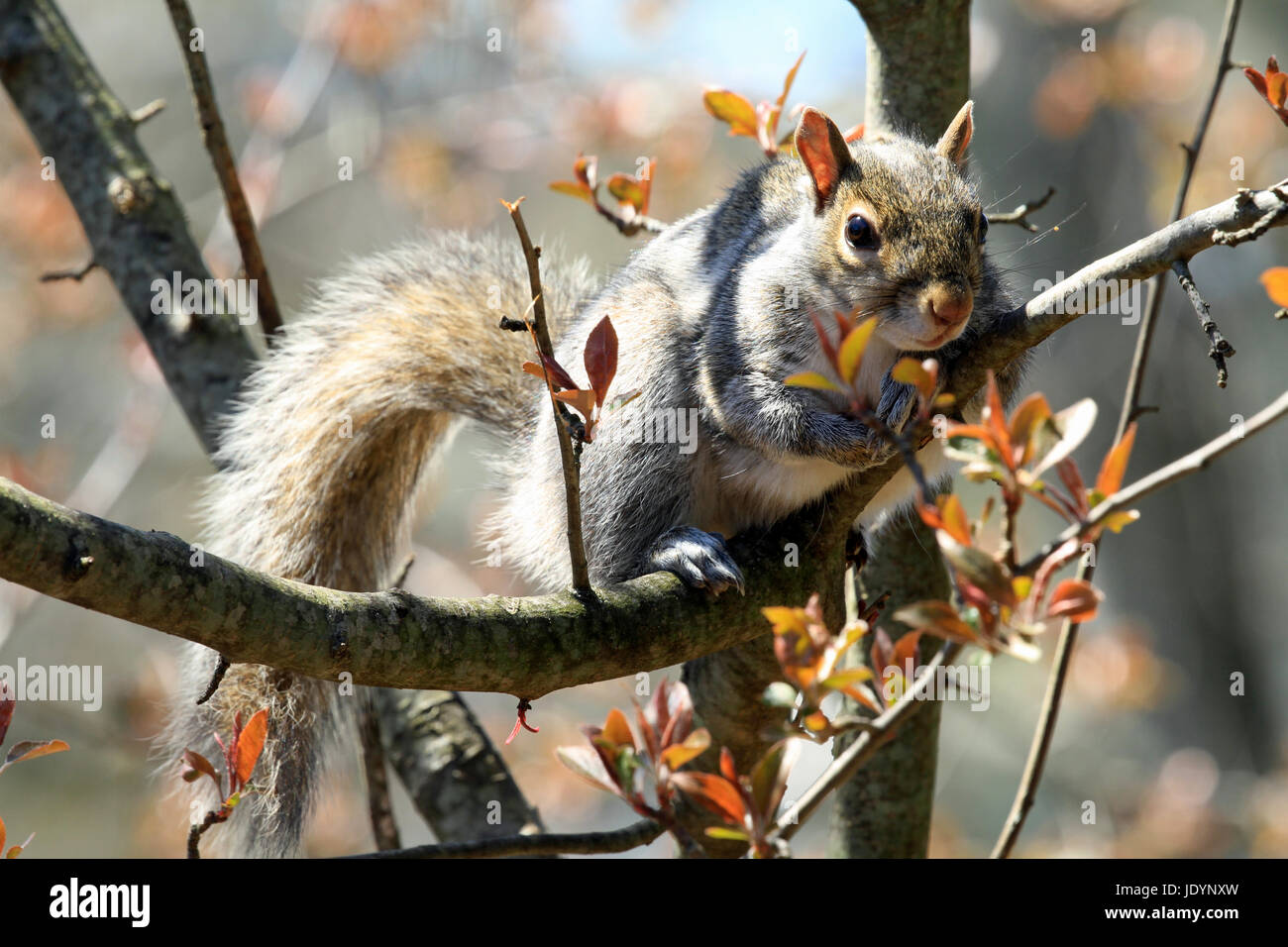 Close-up of Eastern gray squirrel (Sciurus carolinensis) basking in the sunshine on a branch of a budding crab apple Stock Photo
