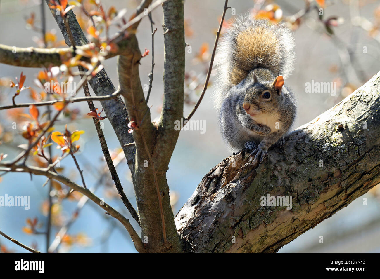 Eastern gray squirrel (Sciurus carolinensis) resting on a limb of a budding crab apple tree in early Spring Stock Photo