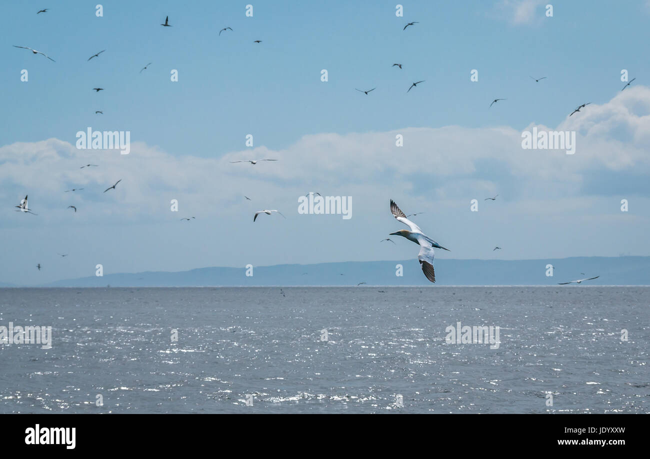 Flying gannets, Morus bassana, Firth of Forth, Scotland, UK from the largest colony of Northern gannets, Summer Stock Photo