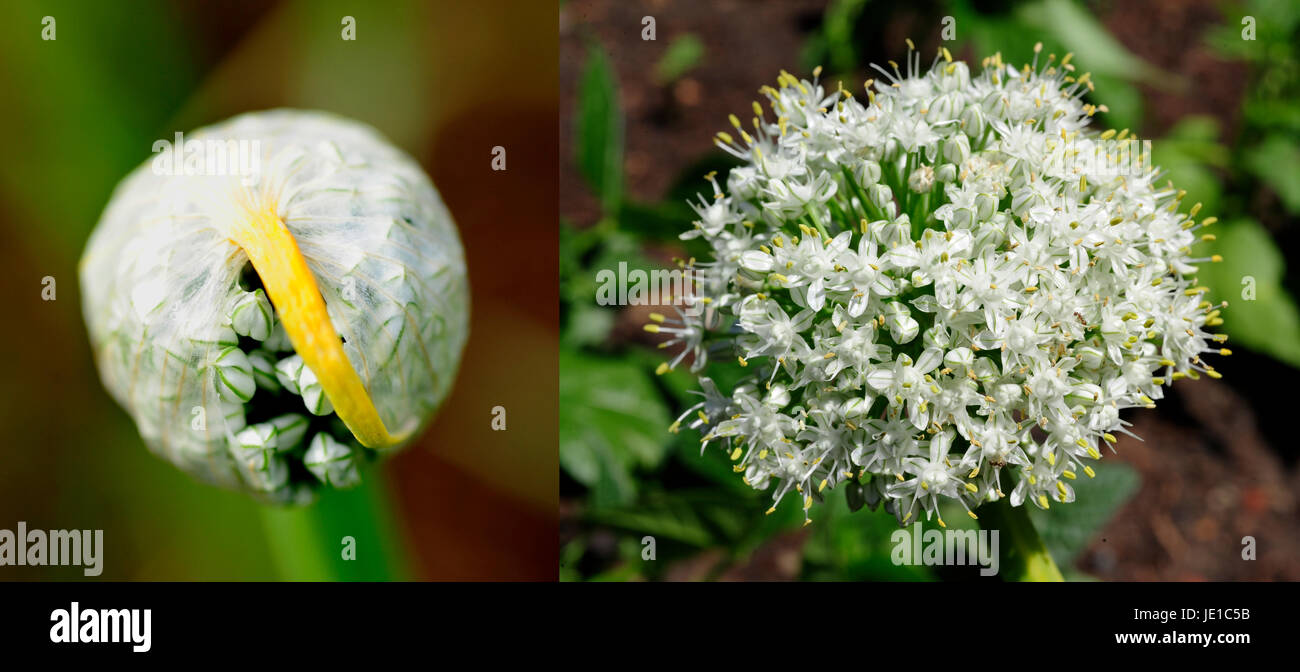 Yellow ball flower stock photos yellow ball flower stock images before and after of a yellow onion flower ball as it sheds its sheathing to bloom mightylinksfo