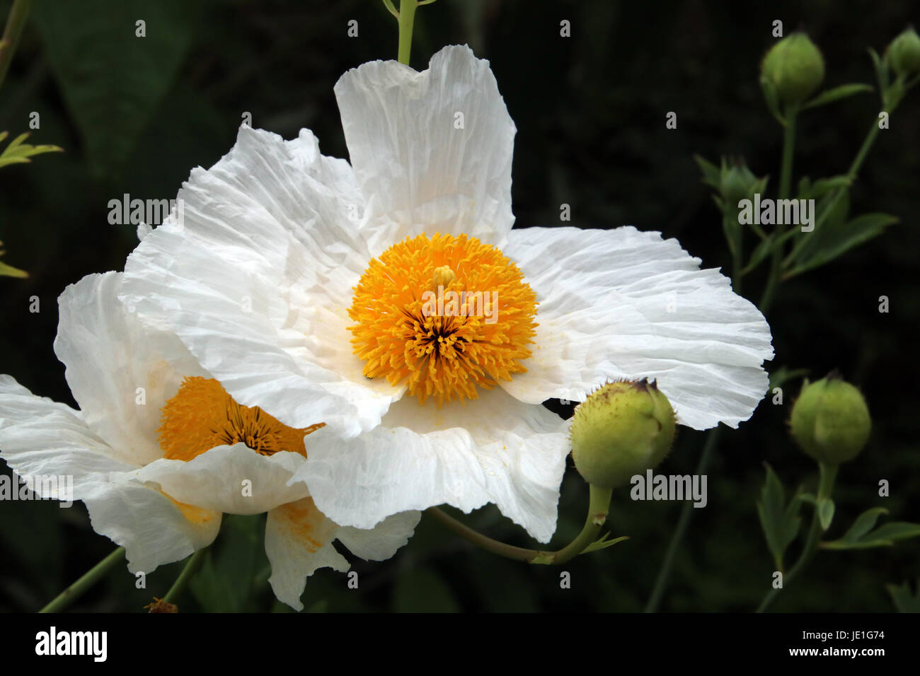 Romneya Coulteri Or The Californian Tree Poppy Is Also