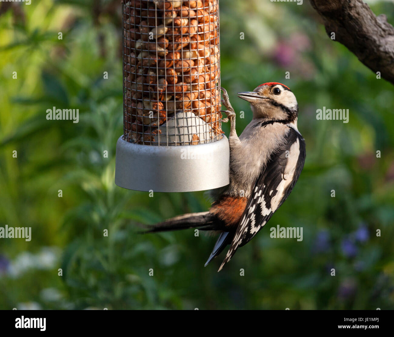 Juvenile Great Spotted Woodpecker Dendrocopos major Illuminated by Late Evening Light on Peanut Feeder UK - Stock Image