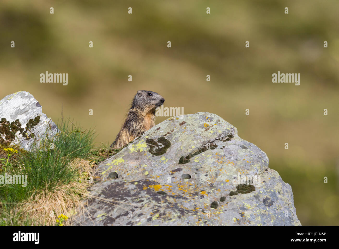 natural alpine groundhog (Marmota monax) standing behind rock in grassland - Stock Image