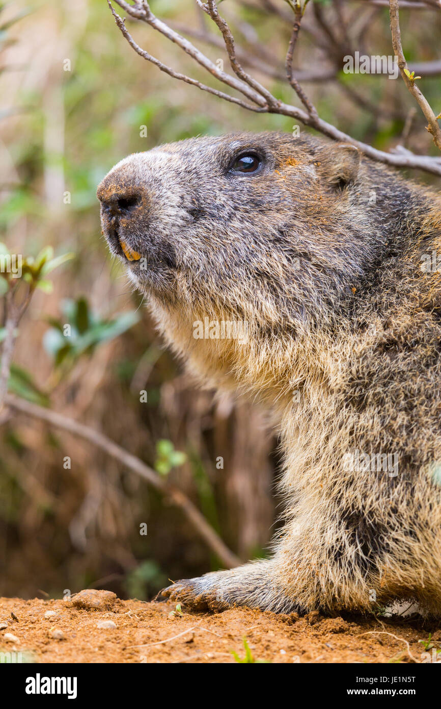 detailed outdoor portrait of natural alpine groundhog (Marmota monax) - Stock Image