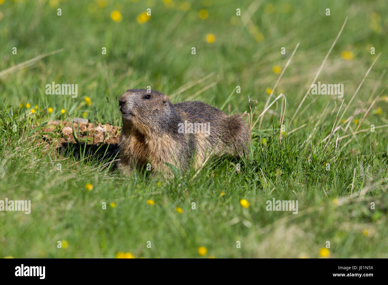 portrait of groundhog (Marmota monax) in grassland with yellow flowers - Stock Image