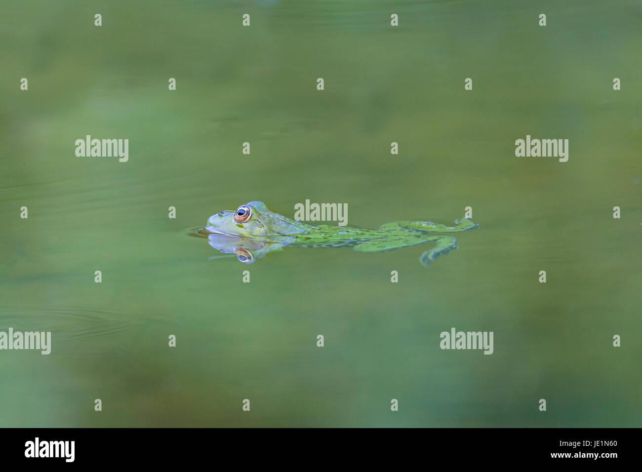 natural reflected green frog (Rana esculenta) swimming in green water - Stock Image