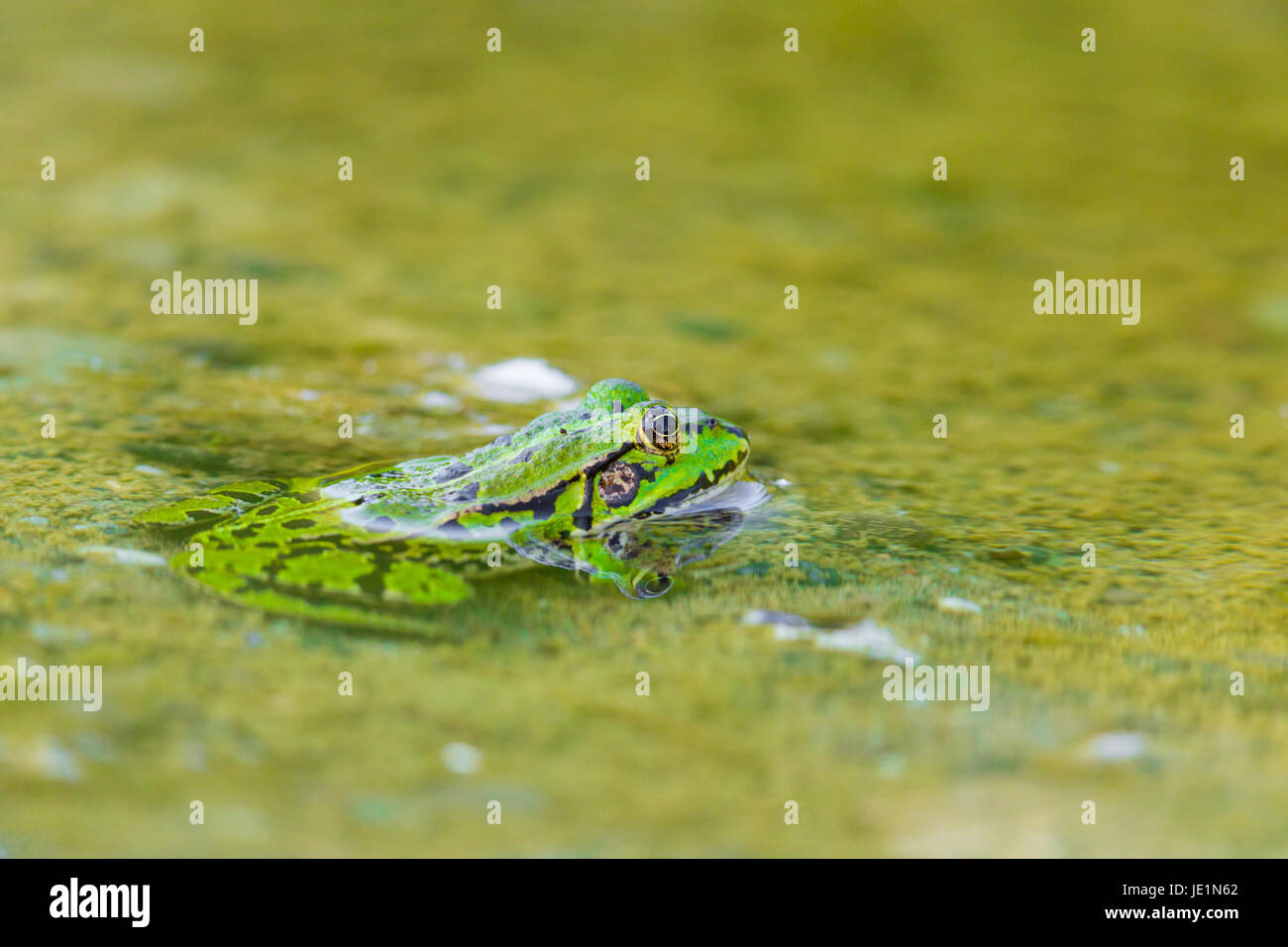 portrait of natural green frog (Rana esculenta) sitting in water - Stock Image