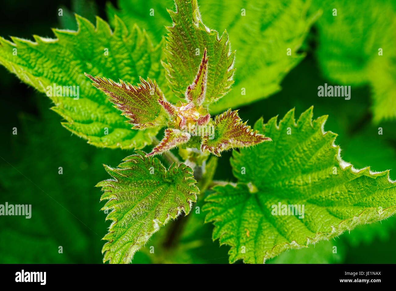 Close-up of a common stinging nettle with green, red tinged, hairy, leaves.growing in a meadow - Stock Image