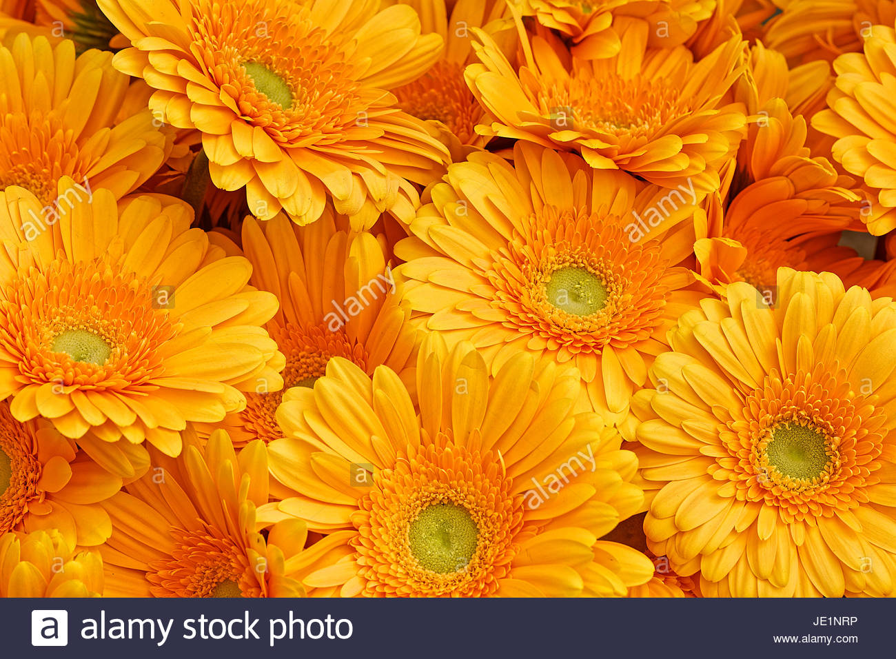orange margerites - Stock Image