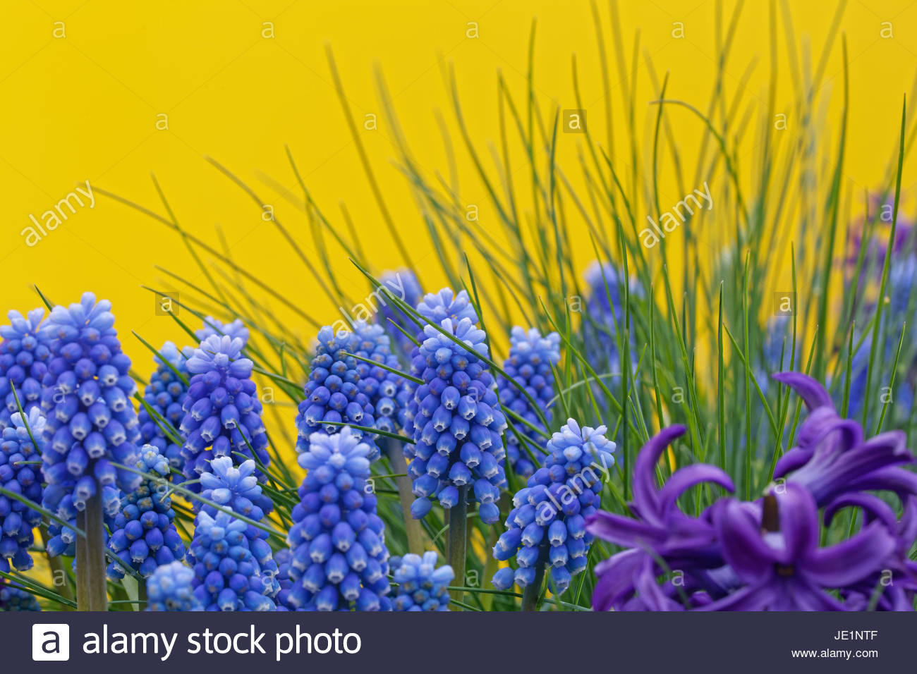blue grape hyacinths - Stock Image