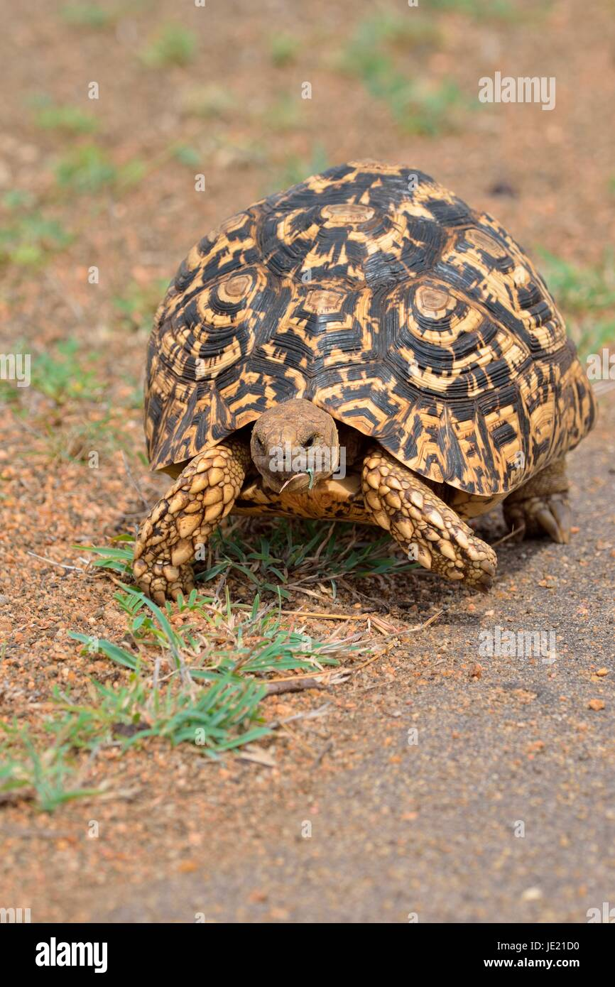 Leopard tortoise (Stigmochelys pardalis), moving along a paved road, Kruger National Park, South Africa - Stock Image