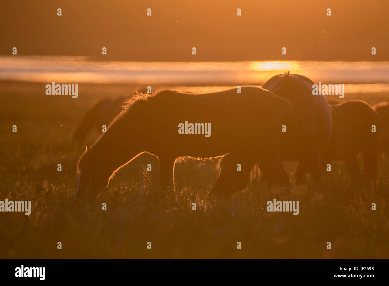 Wild horses grazing on summer meadow at sunset - Stock Image