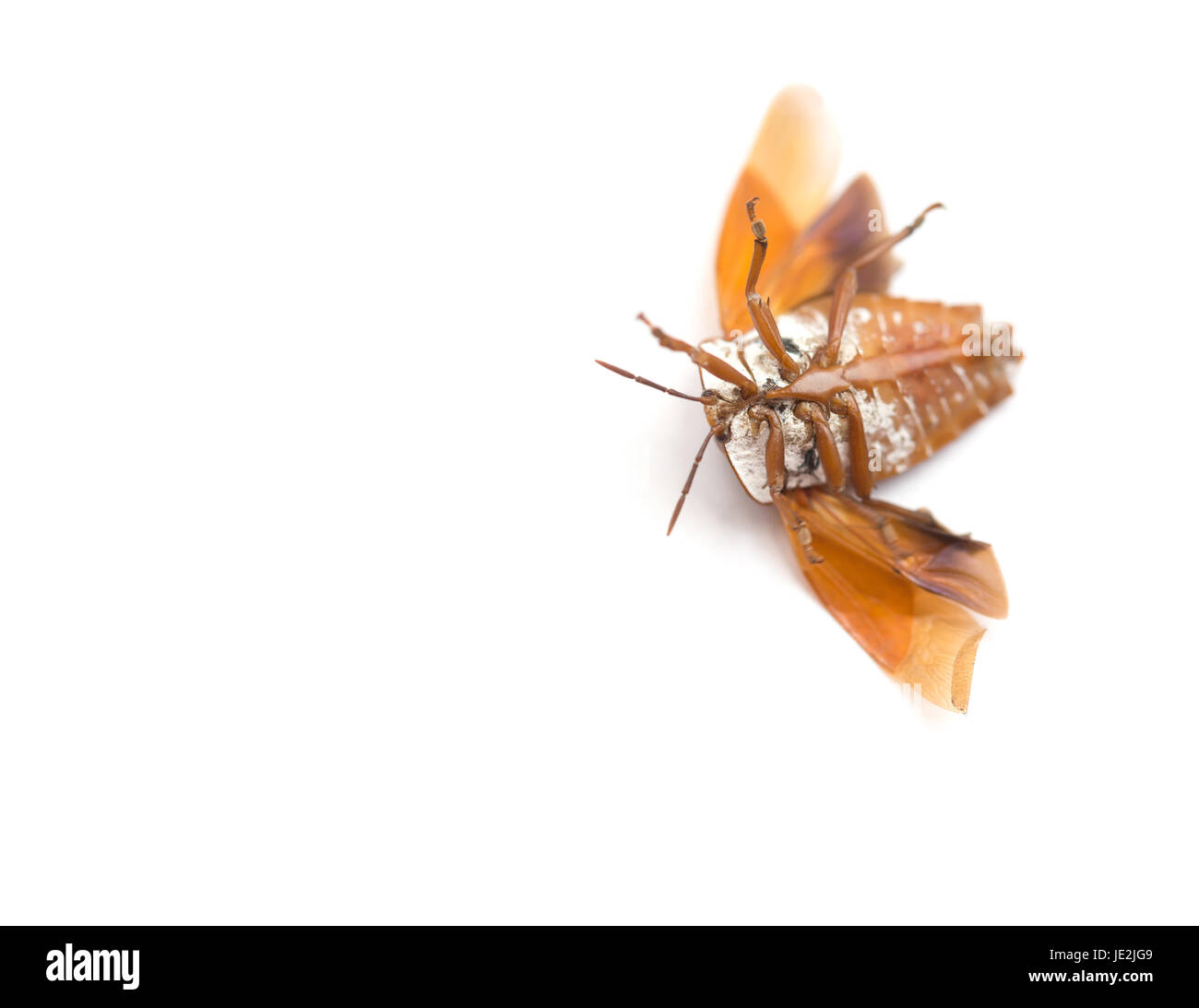Upside Down Bed Bug With Wings Opened On White Background Stock