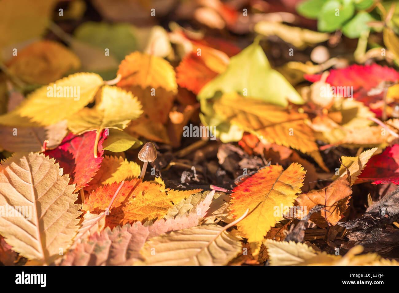 Buntes Herbstlaub mit kleinem Pilz - Stock Image